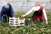 إسبانيا تستقدم 14 ألف عاملة مغربية لجني الفراولة