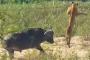 بالفيديو.. جاموس ينقذ سحلية من بين أنياب الأسود