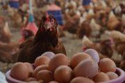 هل سيستمر استقرار أسعار الدجاج والبيض خلال شهر رمضان؟