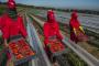 نقابيو الفلاحة يجلدون ''سنطرال'' ويدعون لتحرك عاجل لصالح ''عاملات الفراولة''