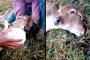 فيديو غريب لعملية ولادة عجل برأسين ولحظة شرب رأسيه الحليب