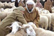 اقتراب العيد يرفع حالة التأهب لمحاربة الغش في تسمين الأضاحي