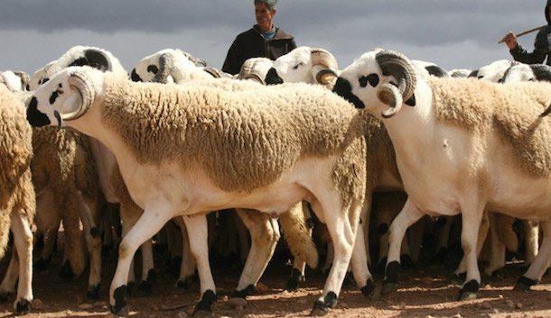 ''أونسا'' يوصي المغاربة بشراء الأضاحي المرقمة والاحتفاظ بـ''الحلقة''