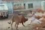 بالفيديو... ثور شرس ينتقم من جزاره أثناء محاولة ذبحه
