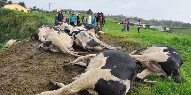 منظمة الصحة العالمية: الأبقار وراء انتشار أكثر الأوبئة فتكا!