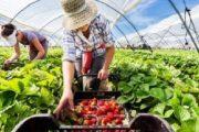 بسبب كورونا.. إسبانيا تبحث عن يد عاملة بديلة لمغربيات الفراولة
