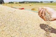 ضمانا للإمدادات.. المغرب يلغي الرسوم الجمركية على القمح اللين