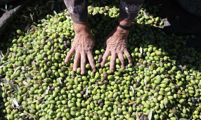 وزارة الاقتصاد تتوقع تحقيق إنتاج قياسي من الزيتون والحوامض
