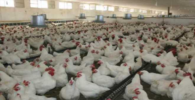 بعد ارتفاع أسعار الدجاج.. نشطاء يطلقون حملة