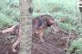 ذئب يهاجم منقذه وكاد أن يفترسه (فيديو)