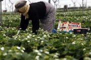لجني الفراولة.. إسبانيا لن تستقبل سوى 15 ألف عاملة مغربية