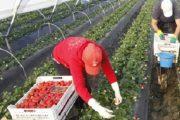 أكثر من 11 ألف هكتار من حقول ويلبا تنتظر العاملات المغربيات
