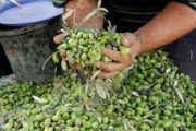 بزيادة 28%.. إنتاج الزيتون يسجل رقما قياسيا هذا الموسم