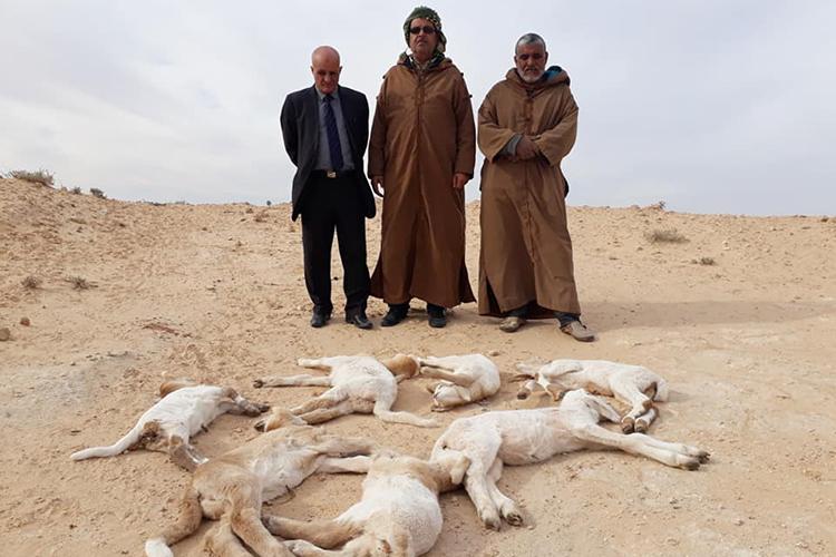 الطاعون يضرب الجزائر.. نفوق 8 آلاف رأس من الماشية