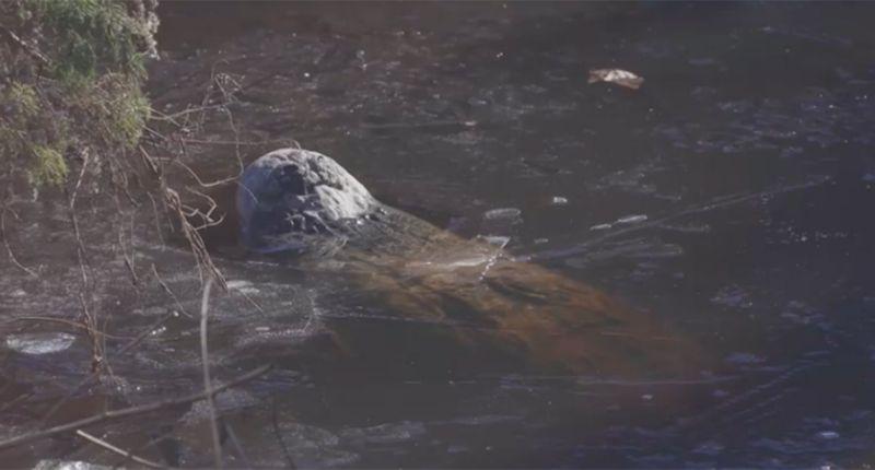 بالفيديو.. تماسيح تنقذ نفسها بطريقة غريبة!