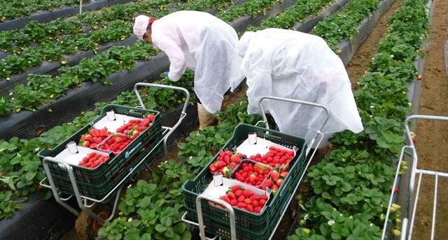 تعيين فريق مغربي لتحسين ظروف إقامة مغربيات الفراولة بحقول