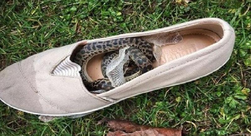 ثعبان استرالي يزور غلاسكو الأسكتلندية في حذاء سائحة