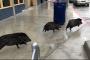 بالفيديو... الخنازير تجتاح ولاية أمريكية