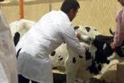 الحمى القلاعية.. عملية تلقيح القطيع الوطني مستمرة