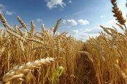 بنك المغرب يتوقع تراجعا حاداً في محصول الحبوب خلال الموسم الجاري