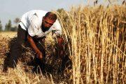 الحكومة تتخذ تدابير هامة لتسويق محاصيل الحبوب