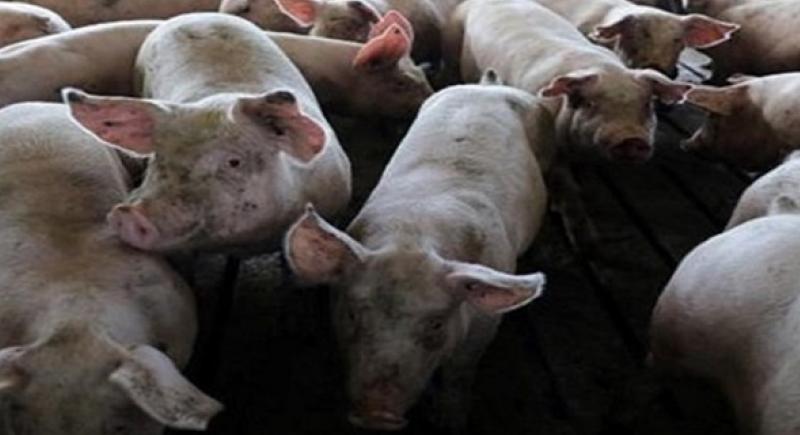 حمى الخنازير الإفريقية تصل الى اوروبا