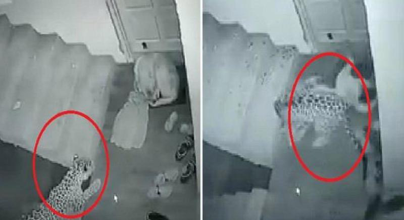 فيديو.. فهد جائع يفترس كلبا ضخما نائما بجانب باب منزل