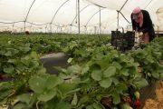 إسبانيا تحتاج لـ19 ألف عاملة مغربية لجني الفراولة