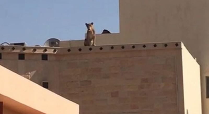 بالفيديو... أسد يثير الرعب لدى طلاب مدرسة في السعودية