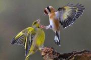 إحباط محاولة تهريب 1680 من طيور الحسون بوجدة