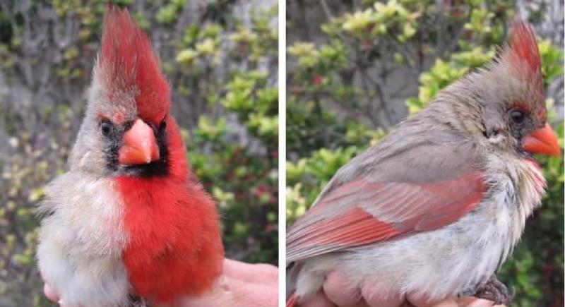 ظهر في Angry Birds.. العثور على طائر نصفه ذكر والآخر أنثى بتكساس