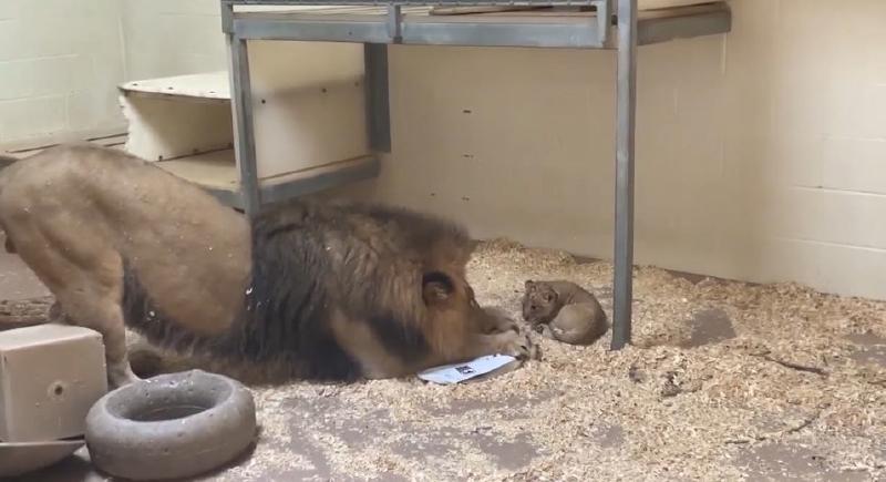 ردة فعل أسد يشاهد لأول مرة شبله الصغير (فيديو)