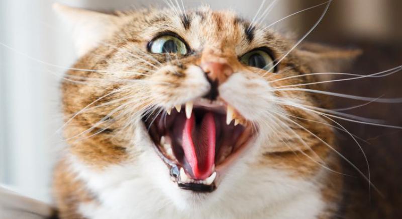 فرق الإنقاذ تتدخل لانقاذ امرأة حبستها قطة ليومين !
