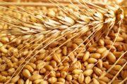 بسبب قلة التساقطات.. إنتاج الحبوب ينخفض خلال الموسم الحالي بـ42%