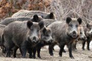 هذه حقيقة اجتياح عشرات الخنازير البرية بعض المدن المغربية