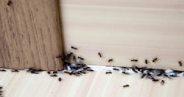 3 حيل للتخلص من نمل المنزل نهائيا