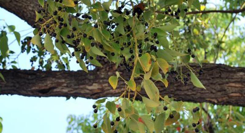 جدل حول شجرة الكافور.. وزير أندونيسي أعلن أنها تقضي على 80% من كورونا