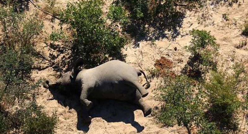 ظاهرة غامضة.. مئات الأفيال تدور حول نفسها لتسقط ميتة (صور)