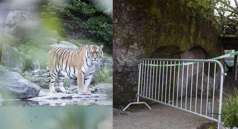 نمر يفترس حارسته أمام أعين زوار حديقة الحيوان