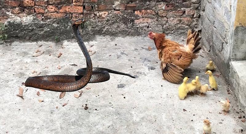 دجاجة تدافع عن صغارها ببسالة ضد أكثر الزواحف فتكا (فيديو)