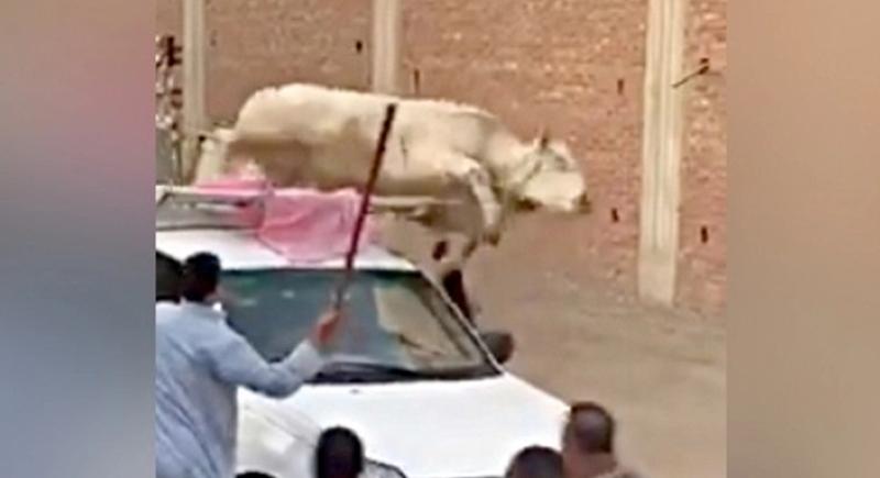 عجل يحطم سيارة نقل في أول أيام عيد الأضحى (فيديو)