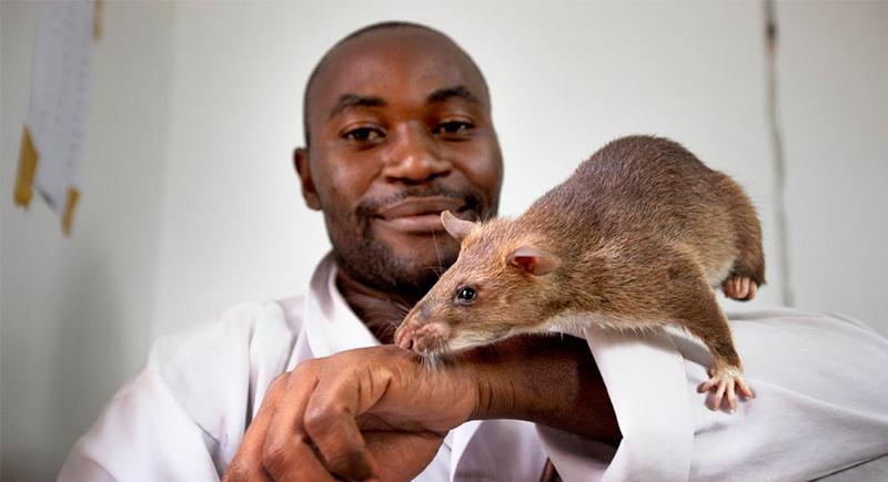 بعد نجاحها في كشف الألغام.. تدريب الفئران على شم فيروس كورونا