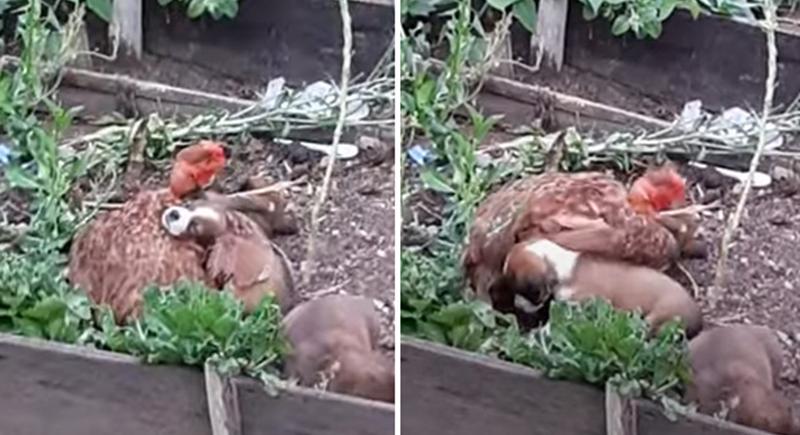 دجاجة تتبنى جراء وتحاول تقليد صوت أمها (فيديو)