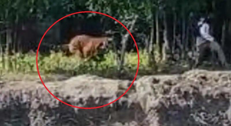 فيديو... نمر هائج يهاجم رجلا في الهند ويثير رعب السكان