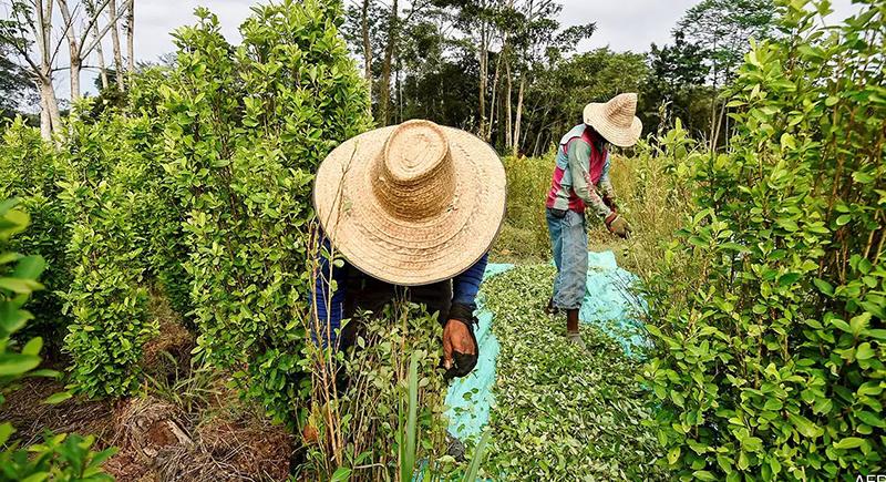 مشروع قانون في كولومبيا لتقنين انتاج الكوكايين