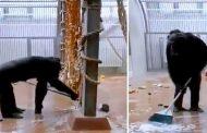 شاهد ماذا فعل شمبانزي بعد أن نسي الموظف مكنسة داخل قفصه (فيديو)
