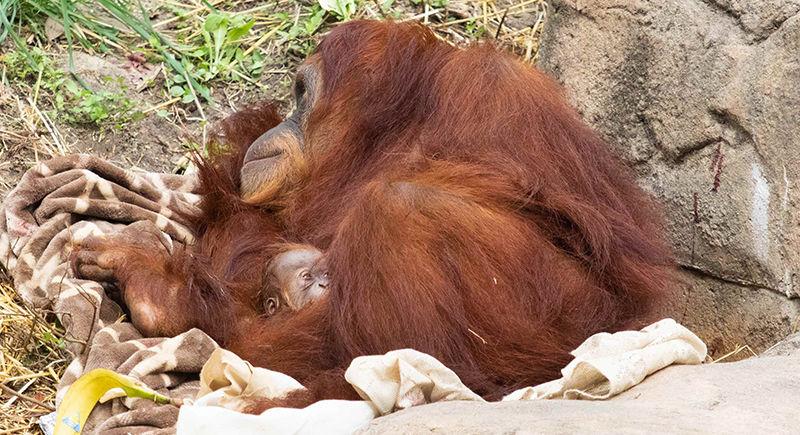 قرد من فصيلة ''إنسان الغاب'' المهددة بالانقراض يُرزق بمولود