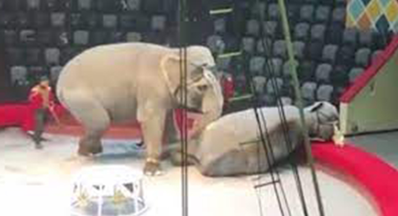 معركة شرسة بين فيلين أثناء عرض في سيرك وهروب جماعي للجمهور (فيديو)
