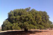 بمبادرة مغربية.. الأمم المتحدة تعتمد 10 ماي يوما عالميا لشجرة الأركان