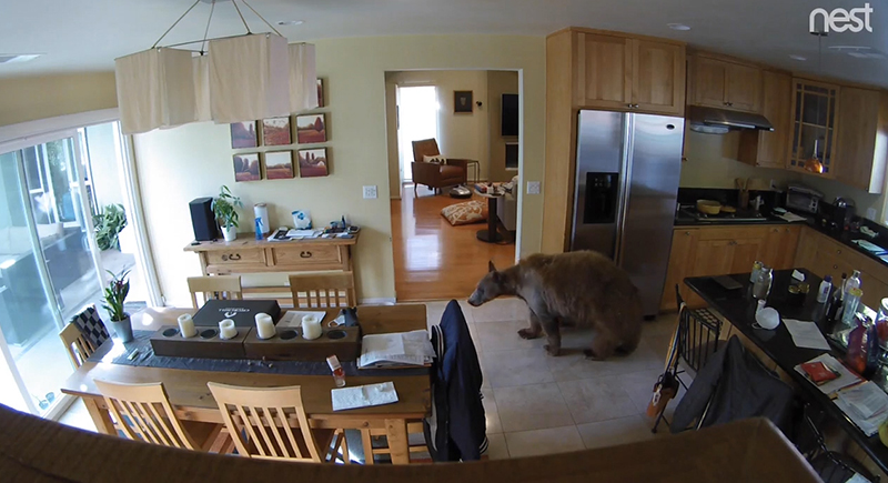 كلب صغير يهاجم دبا عملاقا في أروقه منزل صاحبه (فيديو)